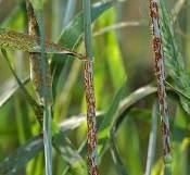 Wheat stem rust sm