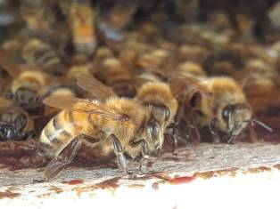 Honey bees 1